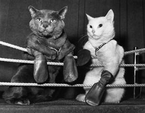 Cat-Fight